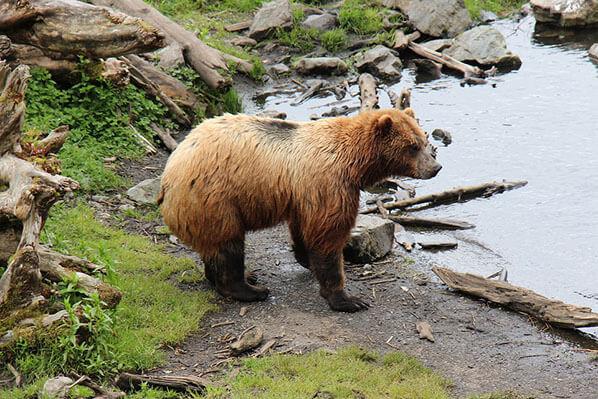 Homer Alaska Bear