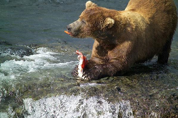Chinitna Bay Viewing Bear