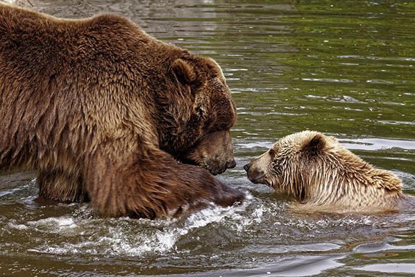 Alaska Bear Viewing